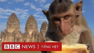 Thăm vương quốc khỉ tại Thái Lan - BBC News Tiếng Việt
