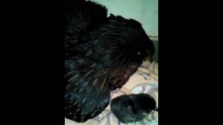 Araukana a kuřátka :-)