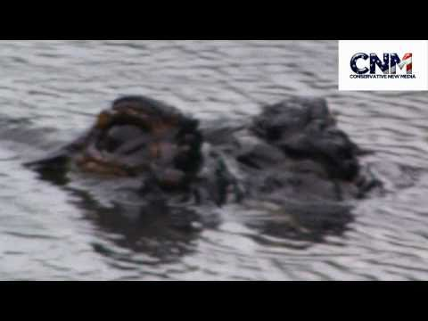 Alligators in STEALTH MODE eyeing me in 1080P HD !!!