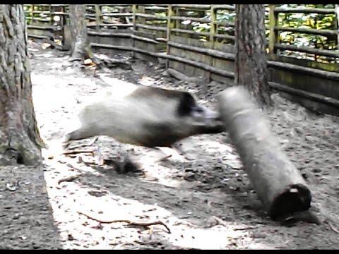 Why is wild boar so dangerous? Czemu dziki są groźne?