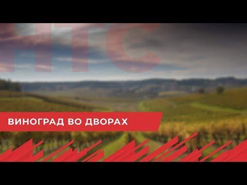 НТС Севастополь: Севастопольцы высадят во дворах 2 тысячи саженцев винограда