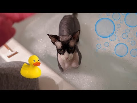 How To Care For Your Sphynx Cat!