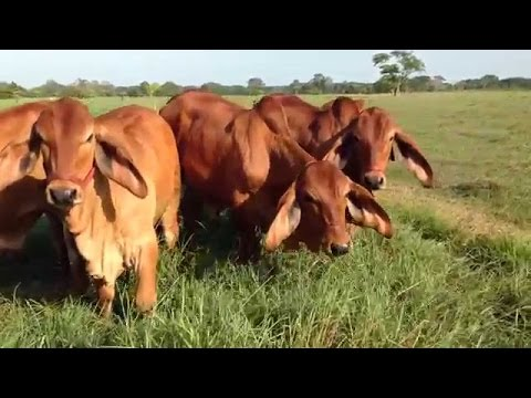 How to Use Genetic Bio Technologies to Improve Cattle Herd P