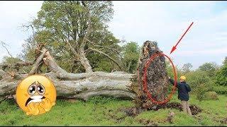 樹齡215歲的百年樺樹被連根拔起,沒想到樹根下竟埋藏了一個「近千年的秘密」……!