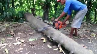 Proses Menebang Pohon dengan Gergaji Mesin Cutting down trees with a chainsaw