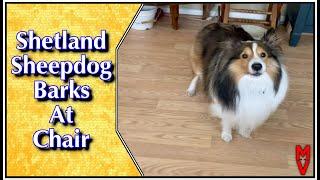 #shorts Dog Barks At Chair || Shetland Sheepdog Playtime
