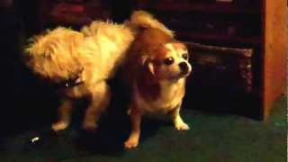 Dogs Get Stuck Together Really Funny !!!