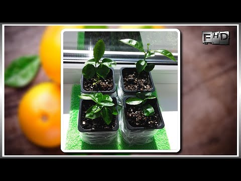 How to grow a grapefruit home from a bone (part-2)