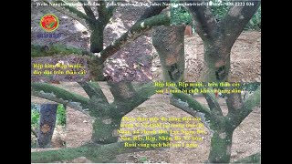 Phun thảo mộc đa năng V-VFARM thành công trên cây Bưởi tại nhà chị Nhân Lục Ngạn-Bắc Giang