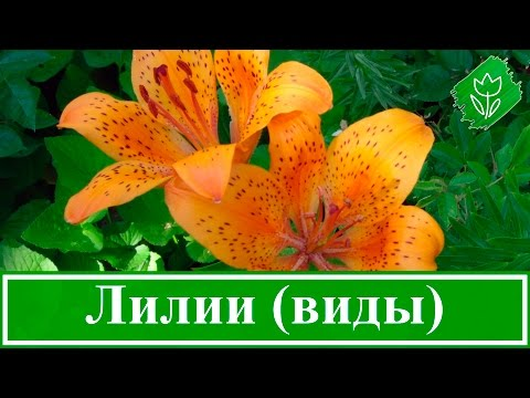 Виды, сорта и гибриды лилий