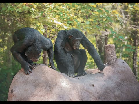 Chimps Get A New Termite Mound