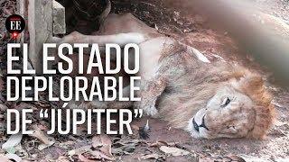 Jupiter, el león en estado de abandono en un zoológico en Córdoba - El Espectador