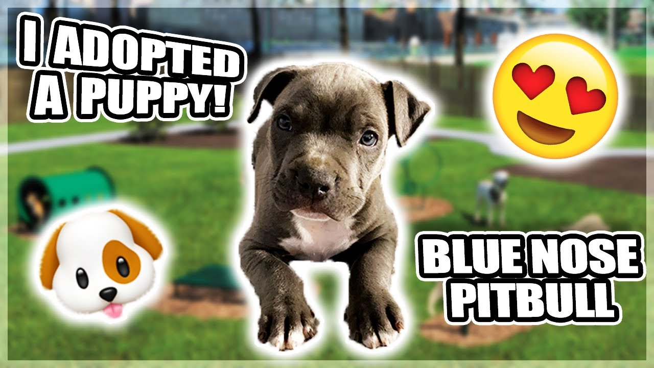 I Adopted A Blue Nose Pitbull Puppy