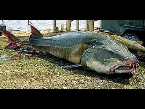 Unduh 97+ Gambar Ikan Yang Besar Keren Gratis