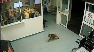 Koala pays late night visit to Australian hospital - no comment
