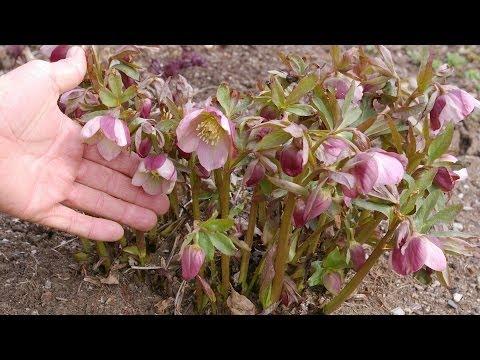 Lenten Rose Spring Care (Helleborus spp.)