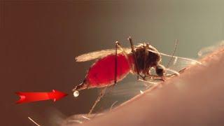 И кровь хлынула в прозрачное пузико. Mosquito drinks blood