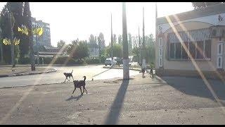 Выгул дворняги по городу без поводка! Нападение собак.