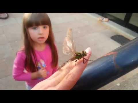 Вопрос: Кусаются ли крупные стрекозы (коромысла)?