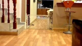 Shih Tzu Finds Creative Ways To Escape Gate