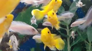 YAVRU CİKLETLERİN EN SEVDİĞİ YEM ARTEMİA YEMİ  (sonuna kadar izleyin), akvaryum balıkları
