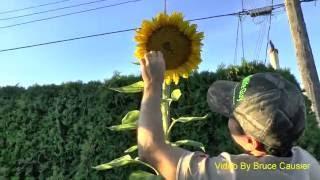 Baixar Giant Sunflower