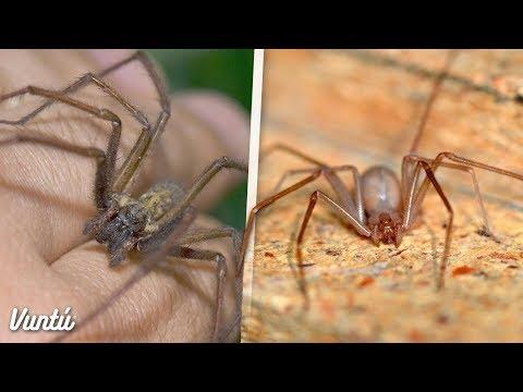 La araña más peligrosa y venenosa de México