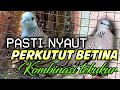 Pancingan Perkutut Lokal Betina Gacor Kombinasi Tekukur Audio(.mp3 .mp4) Mp3 - Mp4 Download