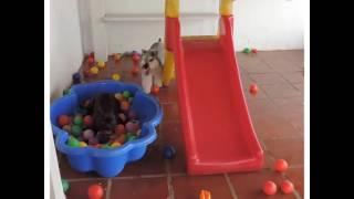 Les bouledogues adorent les piscines à boules !