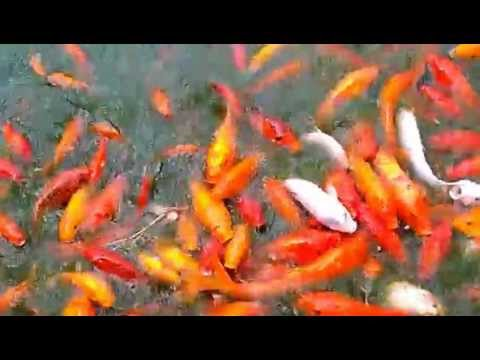Mongrel koi part 2 youtube for Koi youtube