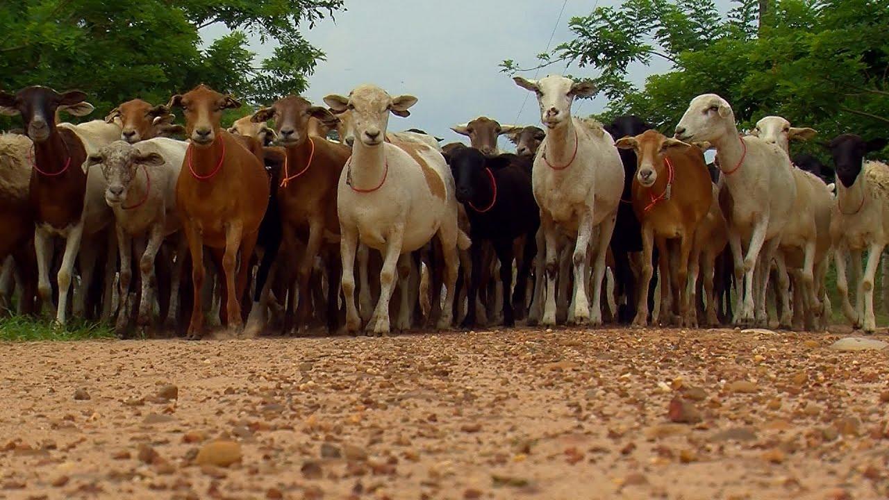 Sheepraising - Sheep Breeds - English CC Diferentes Razas de Ovinos -  TvAgro por Juan Gonzalo Angel