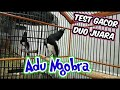 Adu Gacor Duo Kacer Jawara  Mp3 - Mp4 Download