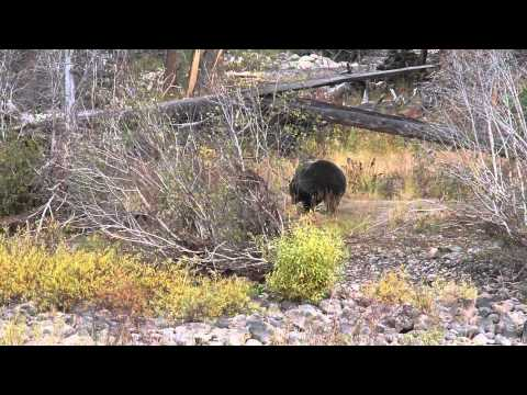 Grizzly at Slough Creek Campground Yellowstone October 10 2010