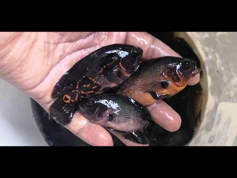 Copper Oscar,Black Tiger Oscar 4 Inch High Quality Fish Stock
