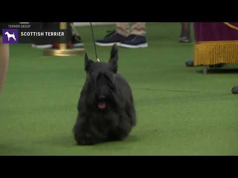 Scottish Terriers | Breed Judging 2020