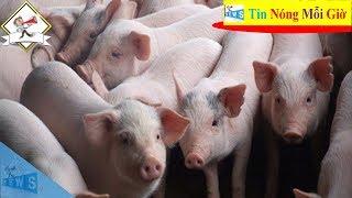 Giá lợn hơi hôm nay ngày 23/8 | Tin Nóng Mỗi Giờ