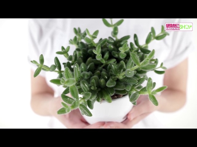 EDDI - Gurkenpflanze Delosperma