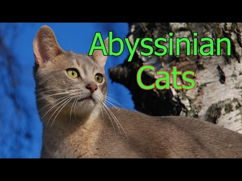 Abyssinian cats ★ AnyFuns Channel