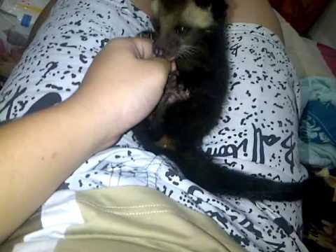 Play with my cute Apao.. (musang bulan)