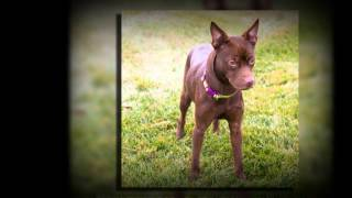 Nestle The Doberman Pinscher Chihuahua Mix