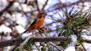 赤い鳥イスカが食事中