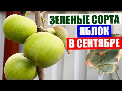 Карликовая яблоня. Поздние зеленые яблоки в сентябре