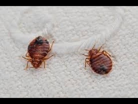 Bedbugs of Manhattan