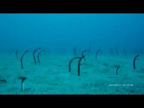 Garden Eels Slowly Emerge off the coast of Saba