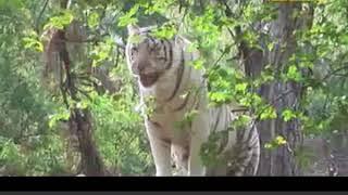 Ground Zero Report on Pyar mein hai Tiger (Satkosia tiger reserve)