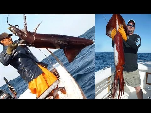 Amazing Giant Squid Catching In The Sea, Fastest Big Squid Packing Processing Factory