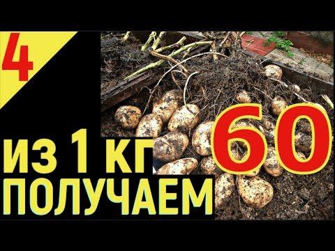 ВЫРАЩИВАНИЕ КАРТОФЕЛЯ от А  до Я Урожай картошки из 1 кг  получаем 60 кг  Часть 4