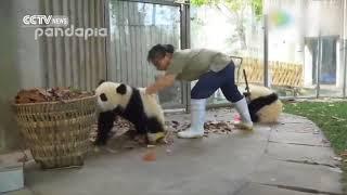 Панды мешают убирать парк! Прикол