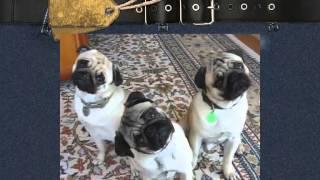 Супер Прикольные Смешные Мопсы! Лови улыбку) Собаки! Улет! Смешные приколы с животными prikoli