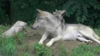 円山動物園のシンリンオオカミ、ジェイ(父/5歳)とキナコ(母/10歳)と赤ち...